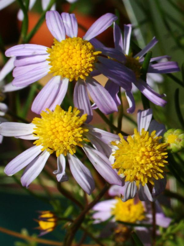 Roebuckiella ciliocarpa