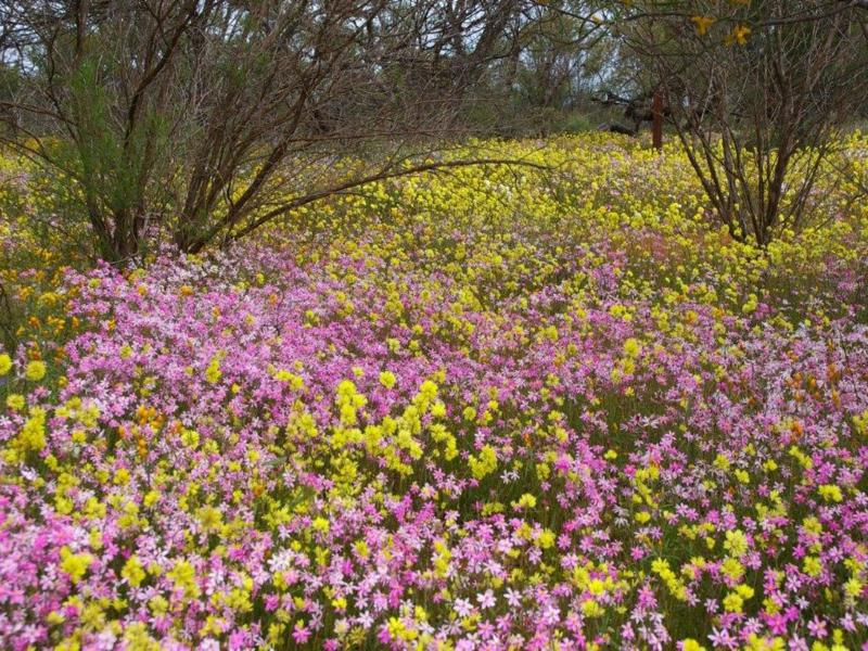 Swathes of colourful everlasting daisies at Coalseam Conservation Park, 400km north of Perth
