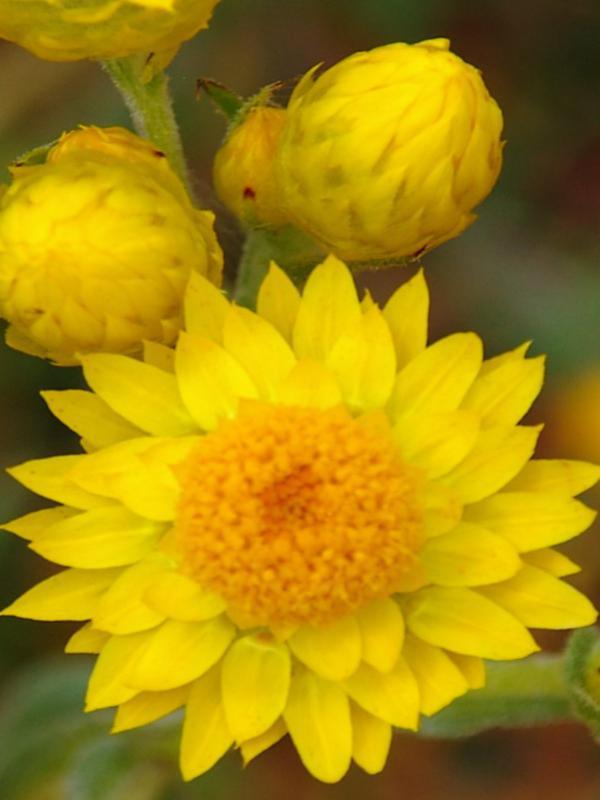Waitzia acuminata