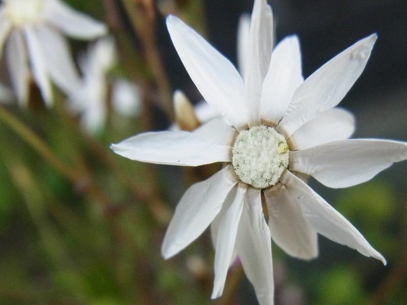 Rhodanthe spicata