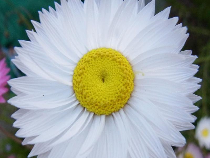 Rhodanthe chlorocephala subspecies rosea