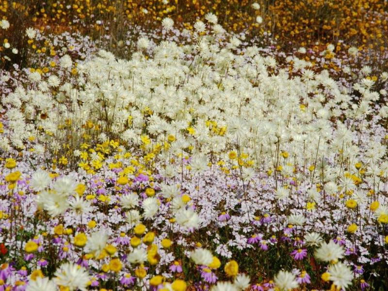 Many daisy species growing together, taken near Merredin, WA