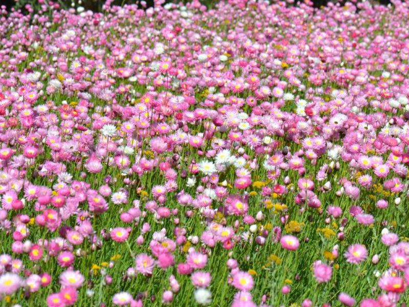 Mass display of everlastings in Kings Park