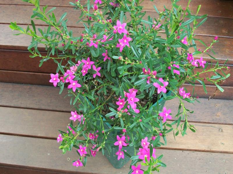 Crowea 'Summer Star', a compact shrub with masses of bright pink flowers from October to June. Photo by Brian Roach.
