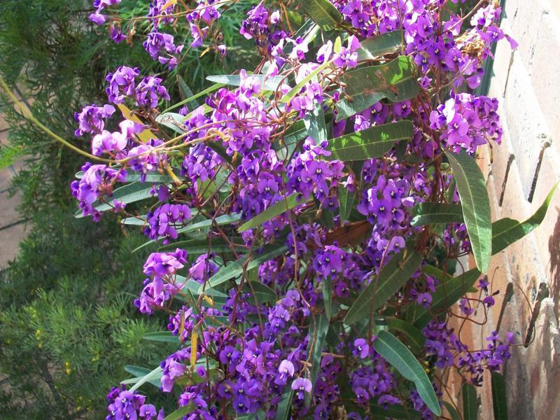 Hardenbergia violacea. Photo by Brian Roach.