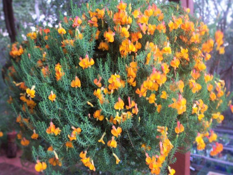 Lechenaultia formosa. Lechenaultia grow well in hanging baskets as well. Photo by Brian Roach.