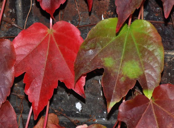 Boston Ivy (Parthenocissus tricuspidata)
