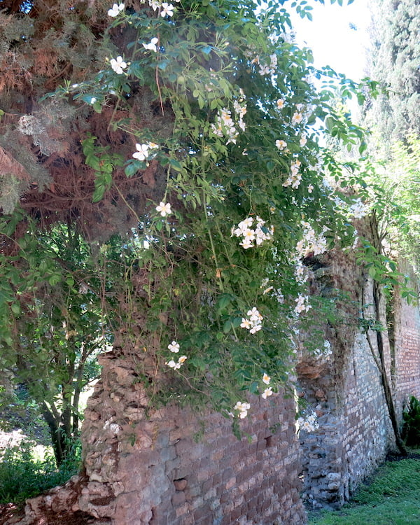 Wall with Rosa filipes 'Kiftsgate' at Ninfa. Photo Deryn Thorpe