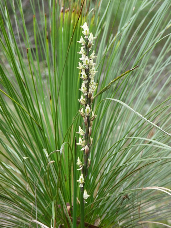 Prasophyllum elatum (Tall Leek Orchid) flowering beside Xanthorrhoea