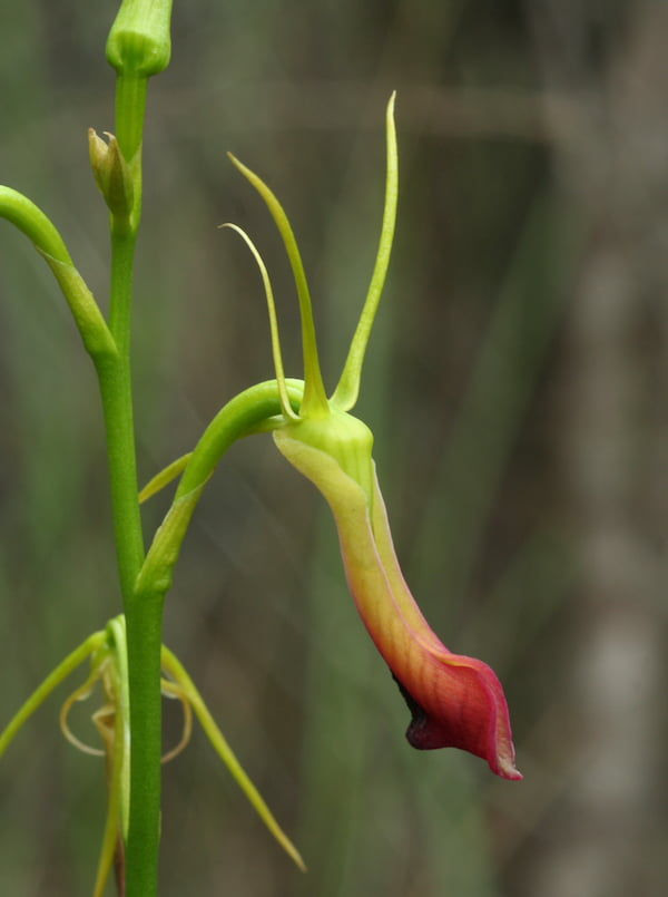 Cryptostylis subulata (Large Tongue Orchid) showing the prominent labellum