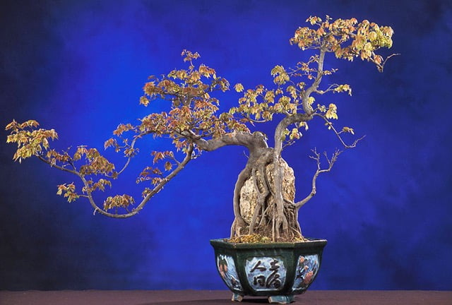 Trident maple penjing, trimmed in the shape of a dragon