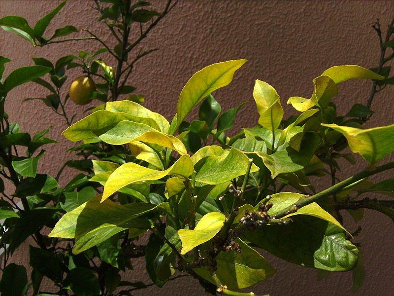 Chlorosis on lemon tree leaves