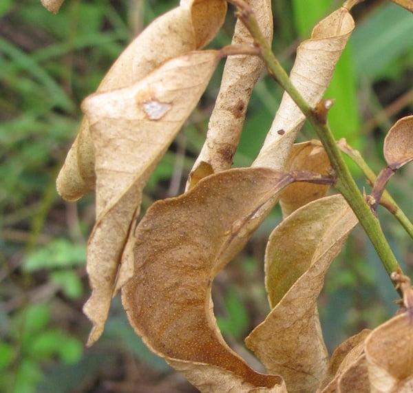Lemon tree with dead leaves