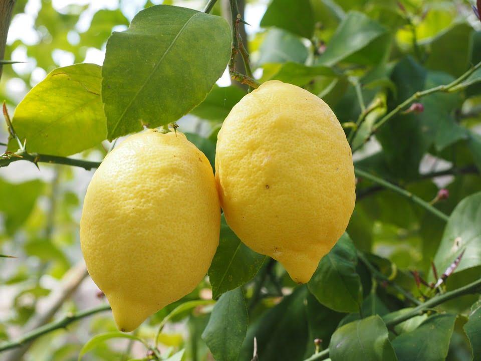 Lemon. Photo by Hans