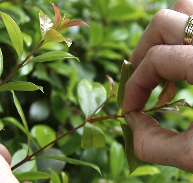 Tip pruning