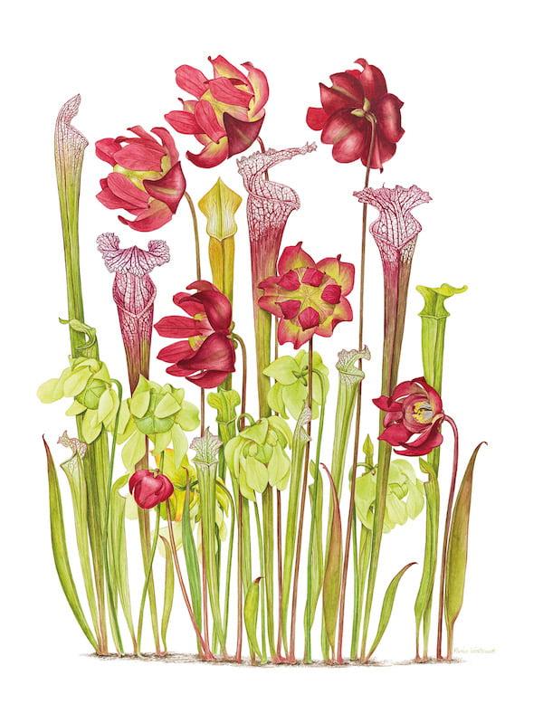 Sarracenia leucophylla + Sarracenia alata. Artist Marion Westmacott