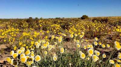 Simpson Desert , western Queensland wildflowers poached egg daisy