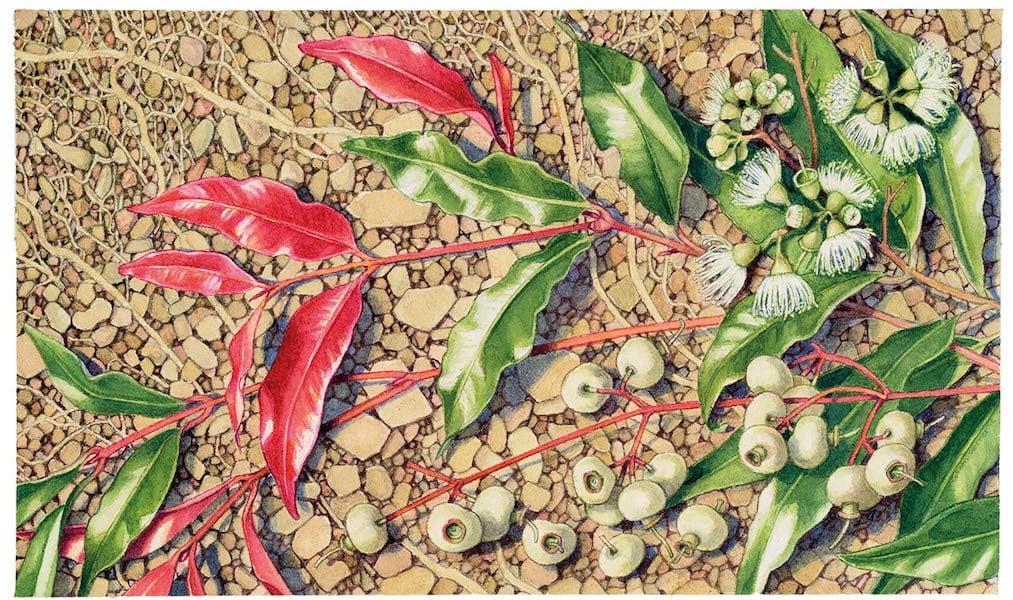 Waterhousia floribunda. Artist Colleen Werner