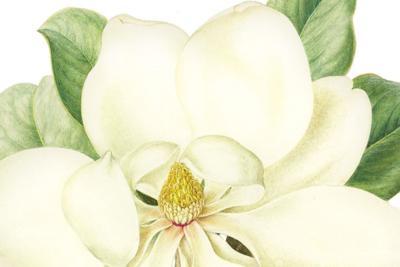 Magnolia grandiflora by Jenny Phillips.