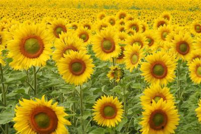 sunflower helianthus
