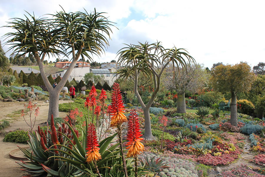 Colourful aloes in Attila Kapitany's garden