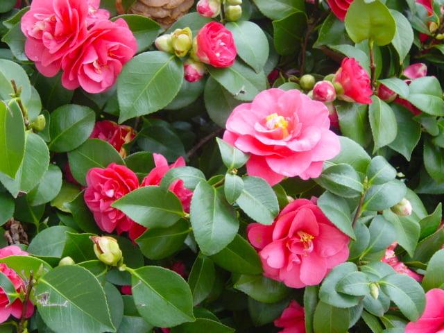 Camellia semi-double cultivar