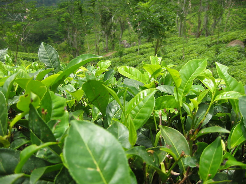 Camellia sinensis, the tea plant