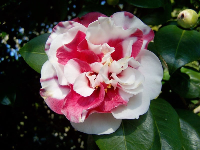 Camellia white and red bicolor