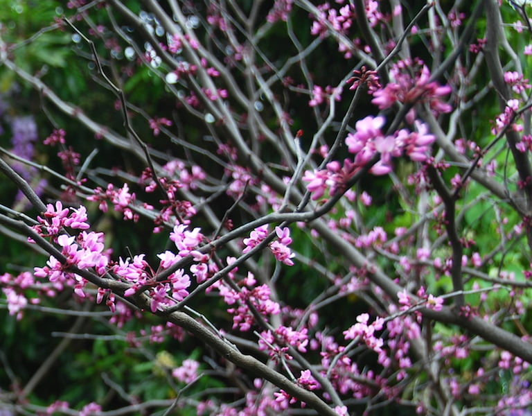 Cercis 'Forest Pansy' flowers are on the stems of the tree