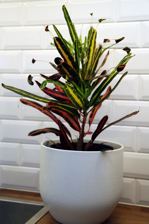 Croton colour pops in a bright white pot