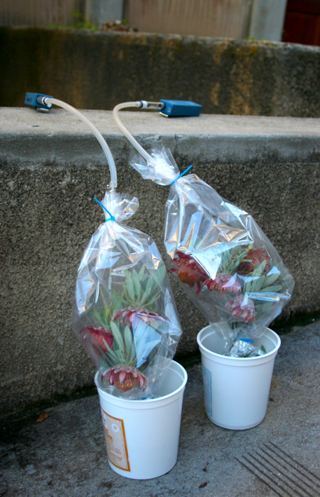 Scent compounds are detected by sampling the air trapped around the flowers by a plastic bag. Setup for sampling the scent of Protea pendula (Nodding Sugarbush). Photo: Sandy-Lynn Steenhuisen