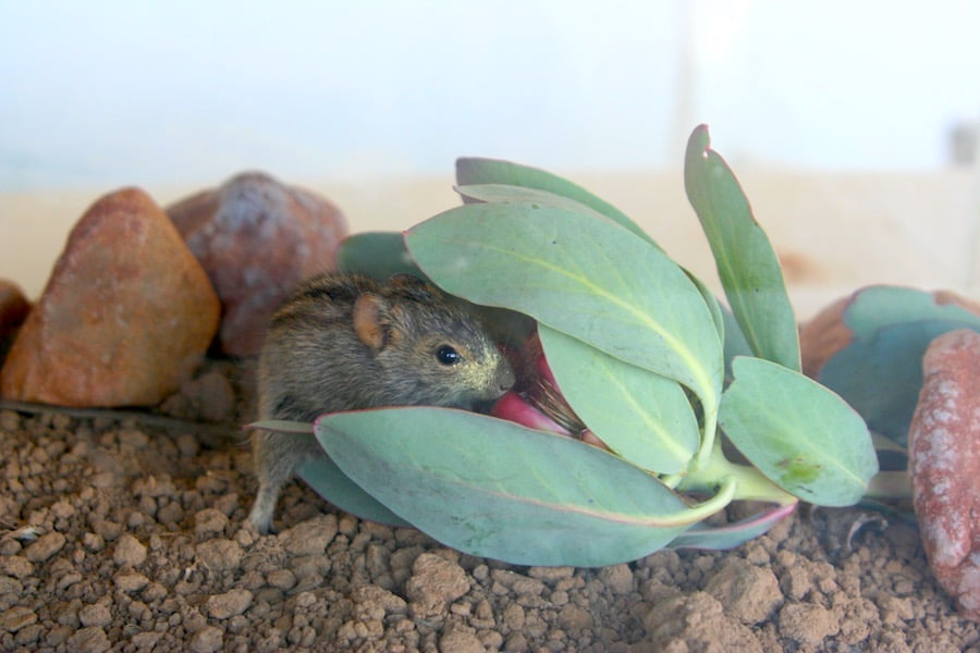 Rhabdomys pumilio (four-striped grass mouse) visiting Protea recondita (Hidden Sugarbush) in Ceres, South Africa. Note all the yellow pollen on the mouse's snout! Photo: Sandy-Lynn Steenhuisen and Alice Balmer.