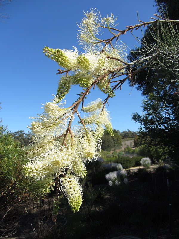 Who is Grevillea leucopteris producing a scent for if not for us? Photo: Warren Worboys