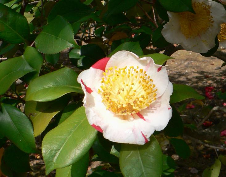 Higo camellia. Photo Hisagi (氷鷺)