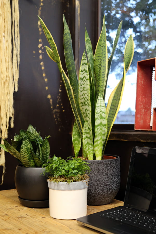 Indoor plants for the desk top - Sansevieria cultivars and ferns