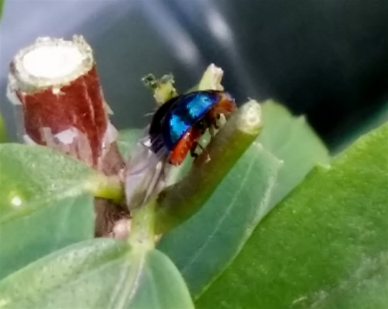 The metallic ladybirds eat aphids and scale
