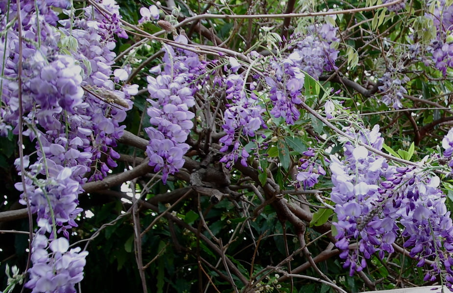My wonderful wisteria heralds spring