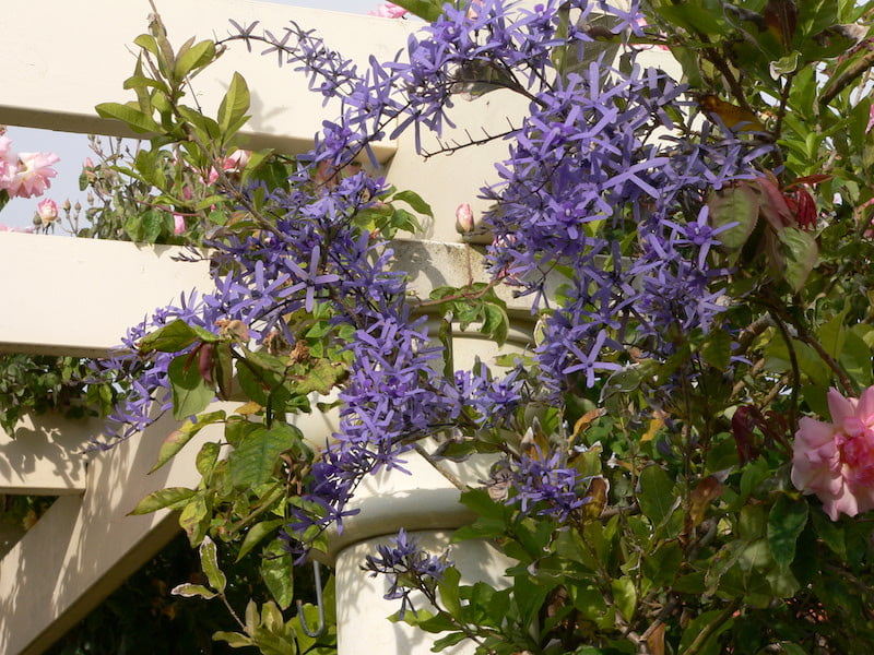 Petrea volubilis on the pergola