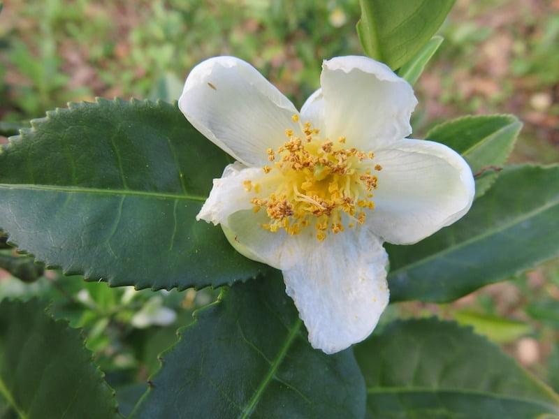 Tea flower - Camellia sinensis