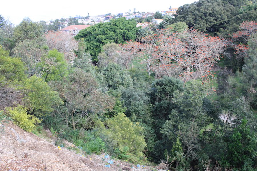 View south east down Bronte Gully. In left foreground is recently terraced and planted ground. Beyond this 7 year old planted regrowth. Running diagonally from lower right is 15 year old rainforest with coral trees (exotic weeds) with red flowers and no leaves. These coral trees covered most of the steep slop when our revegetation program began.