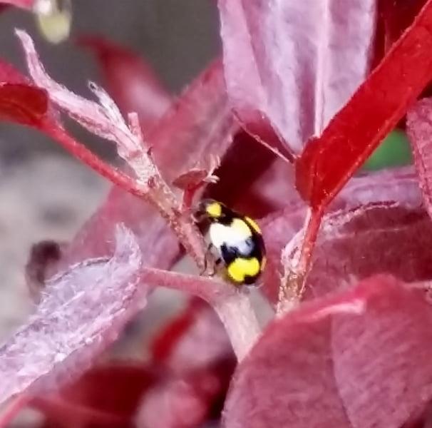 The yellow ladybirds eat powdery mildew