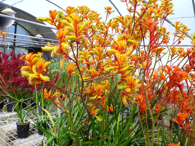 A riot of colour in the newer kangaroo paws. Photo Angus Stewart
