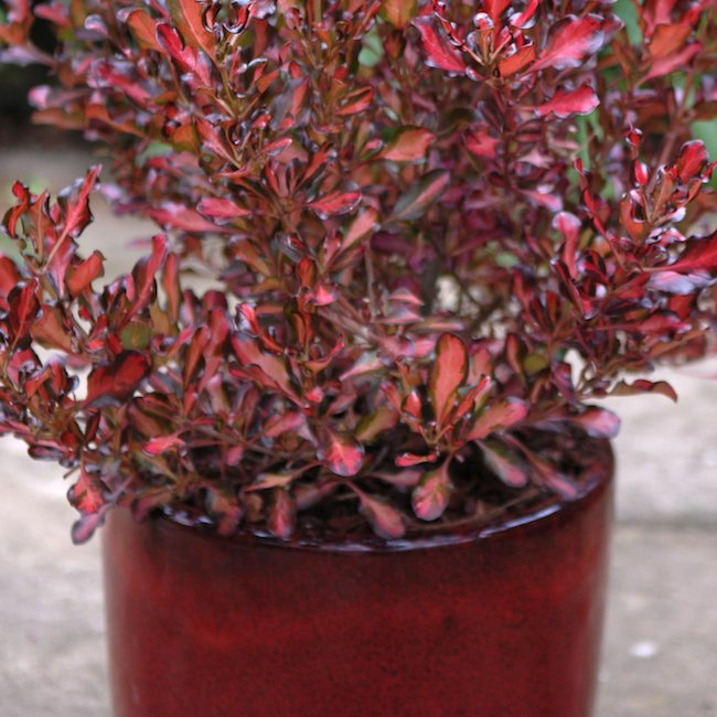Anthony Tesselaar Plants Coprosma Pacific Sunset glows even more brightly in this toning pot
