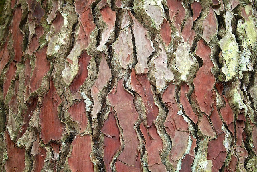 Bark of Pinus pinaster. Photo Jean-Pol GRANDMONT