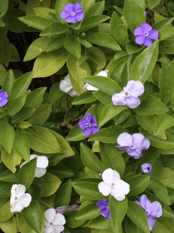Brunfelsia - 'Yesterday, today and tomorrow'