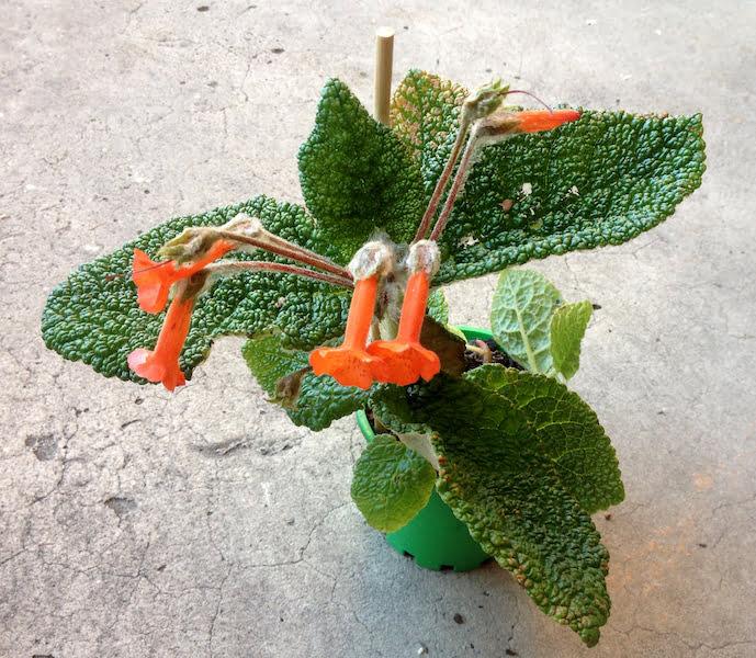 My Precious - Caudex Plant Sinningia bullata