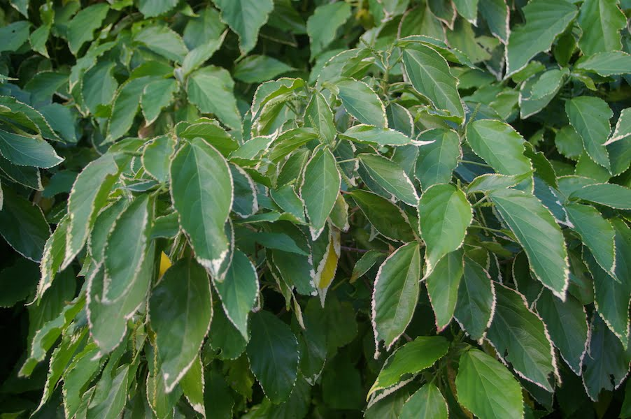 Acalypha 'Chantrieri' has cream margins to the green leaves