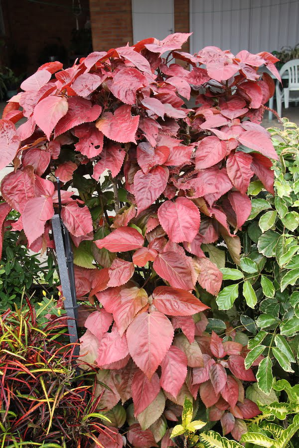 Acalypha 'Copperleaf' is a stunning but uncommon cultivar