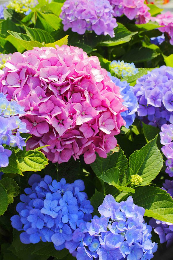 Hydrangea colour varieties