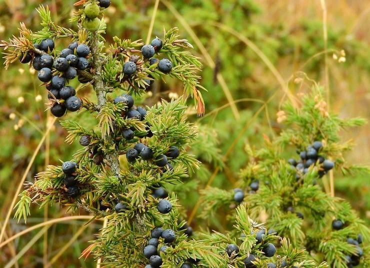 Juniper 'berries'. Photo Maky_Orel